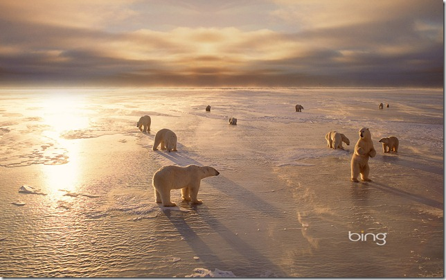 Polar bears near Churchill, Manitoba, Canada